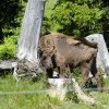 Familienaktion Wisent-Wildnis